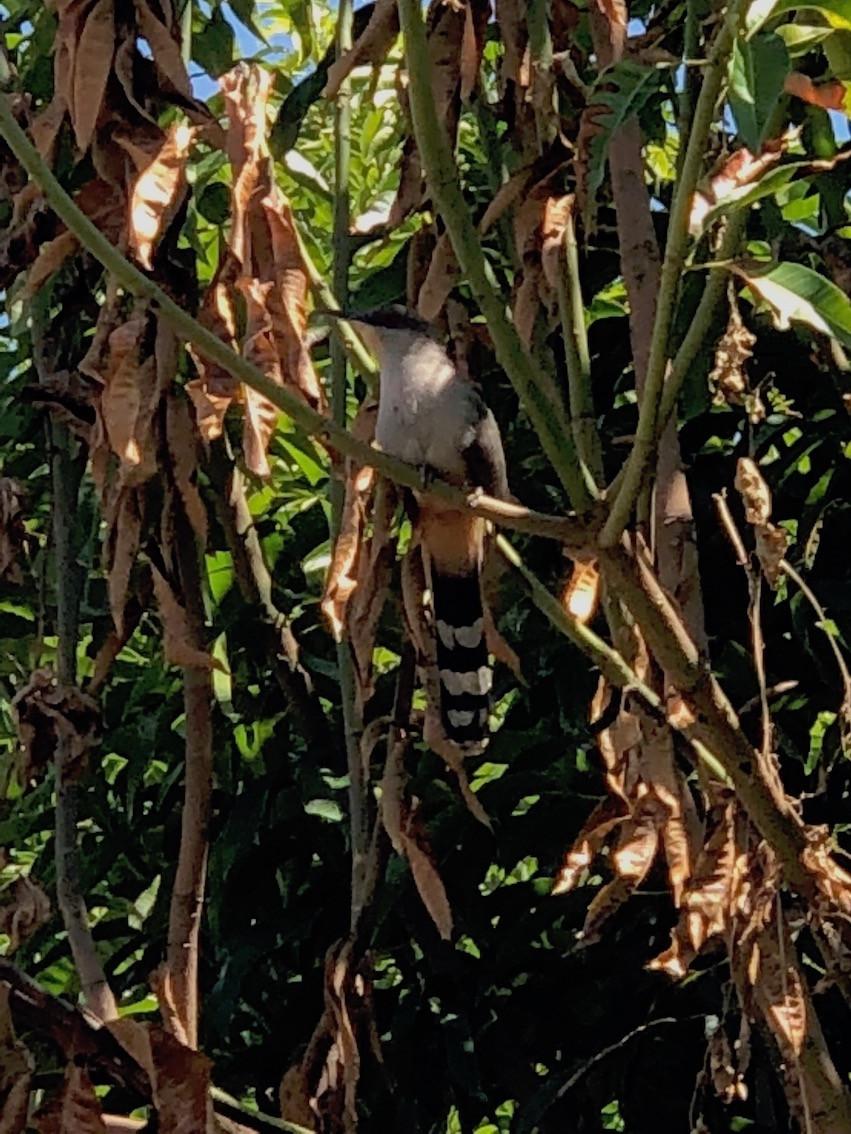 Haitian Lizard-Cuckoo