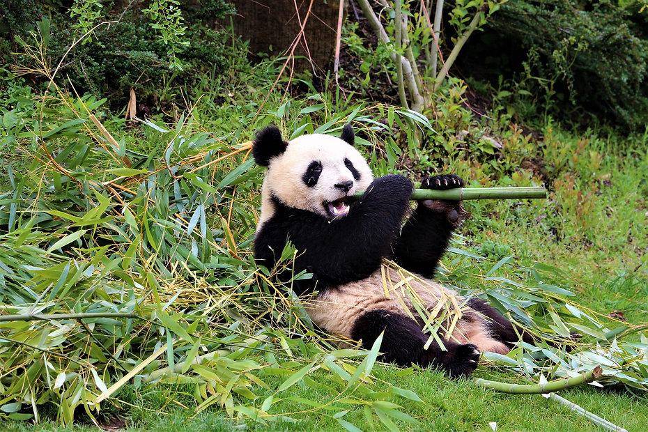 panda-4162976_1920.jpg