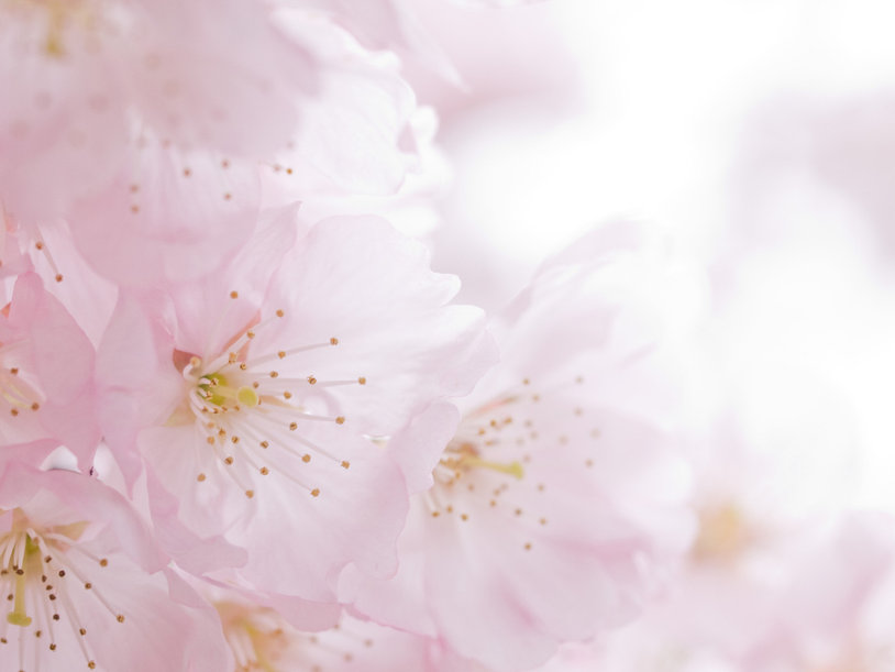 cherry-blossoms-1342942-1280x960.jpg