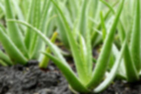 aloe-vera-plant-outside-jpg-1522875135.j