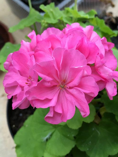 Brookside Rose