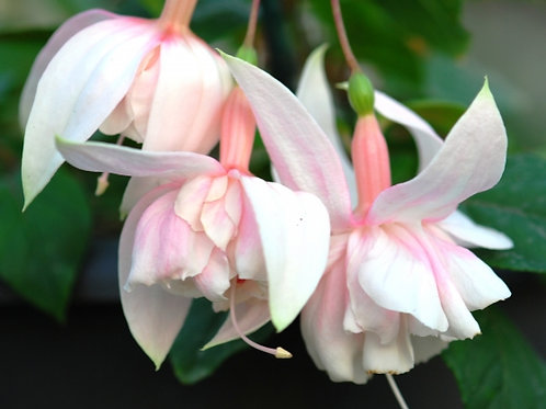 85. Pink Marsmallow