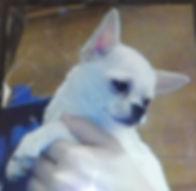 Chihuahua2.JPG