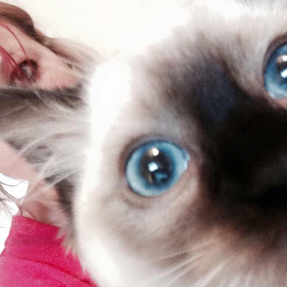 Ragdoll kitten blue eyes