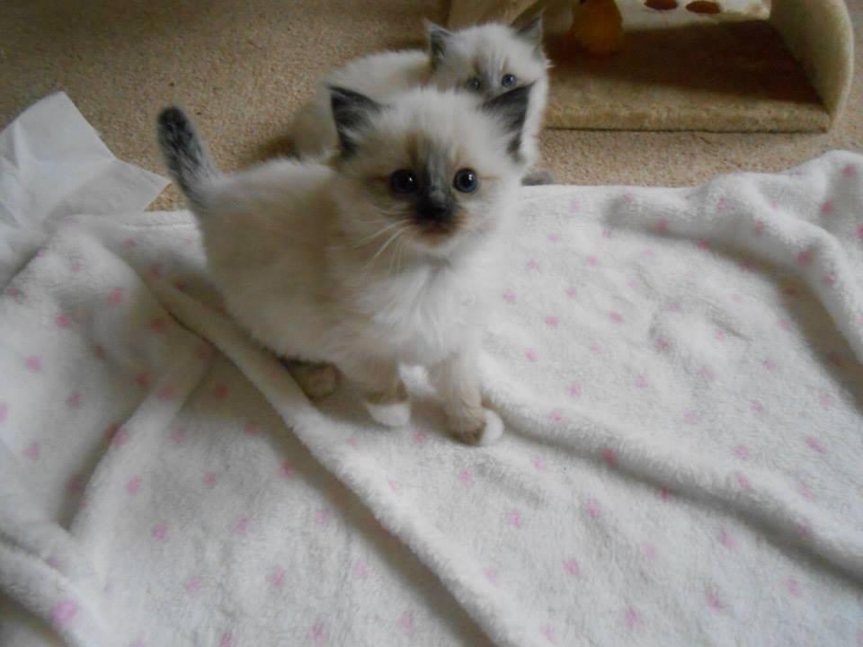 10 Reasons To Get A Ragdoll Kitten