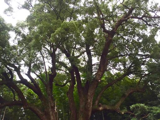 上谷の大楠