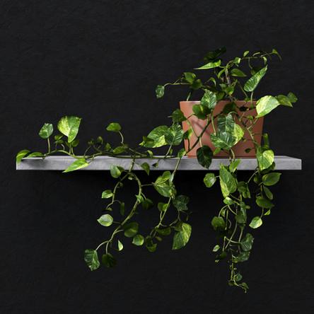 devils ivy plant 1_F.jpg
