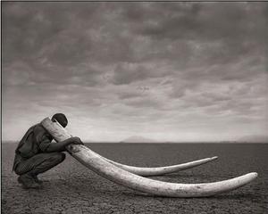 massive elephant ivory tusks