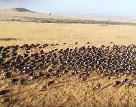 Amazing Flight over Stampeding Wildebeest