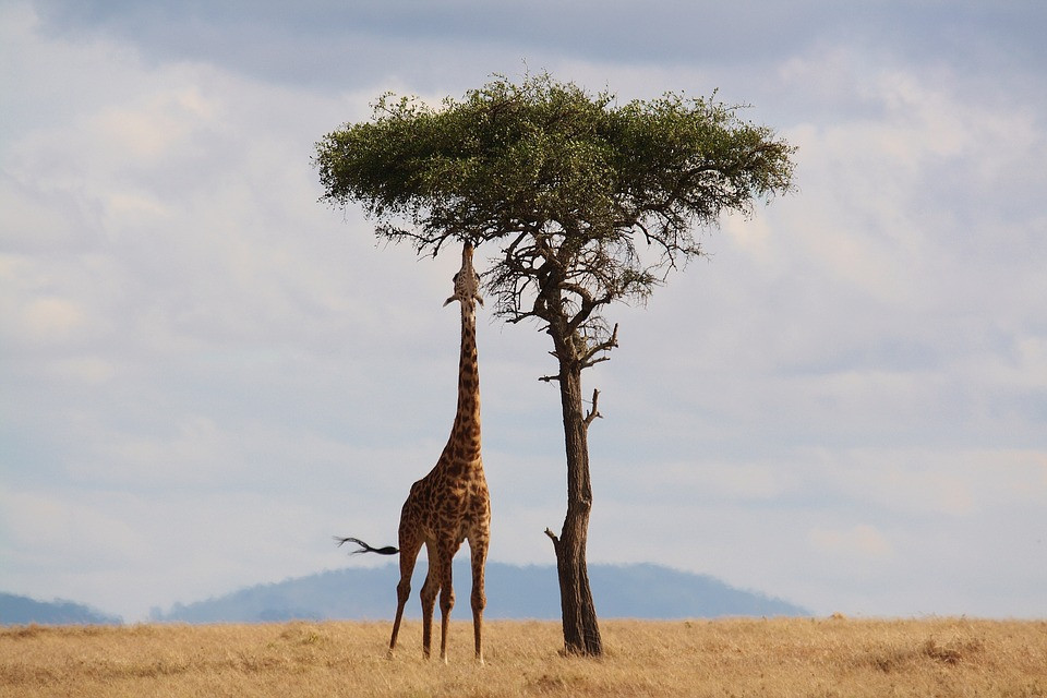wildlife giraffe long neck acacia tree eating