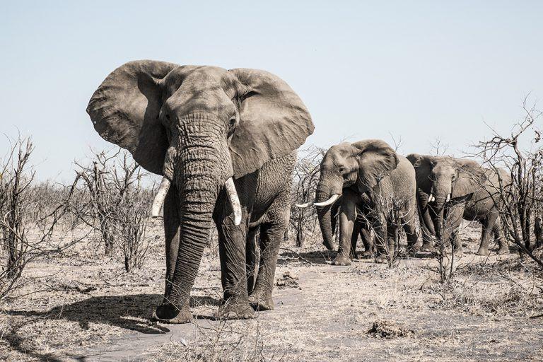 Gonarezhou's elephants
