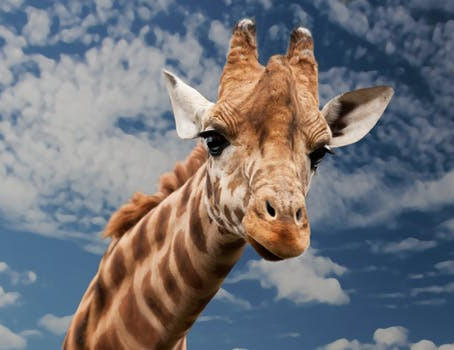 Do Giraffes Have Two Hearts?