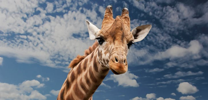 giraffe with two brains high blood pressure
