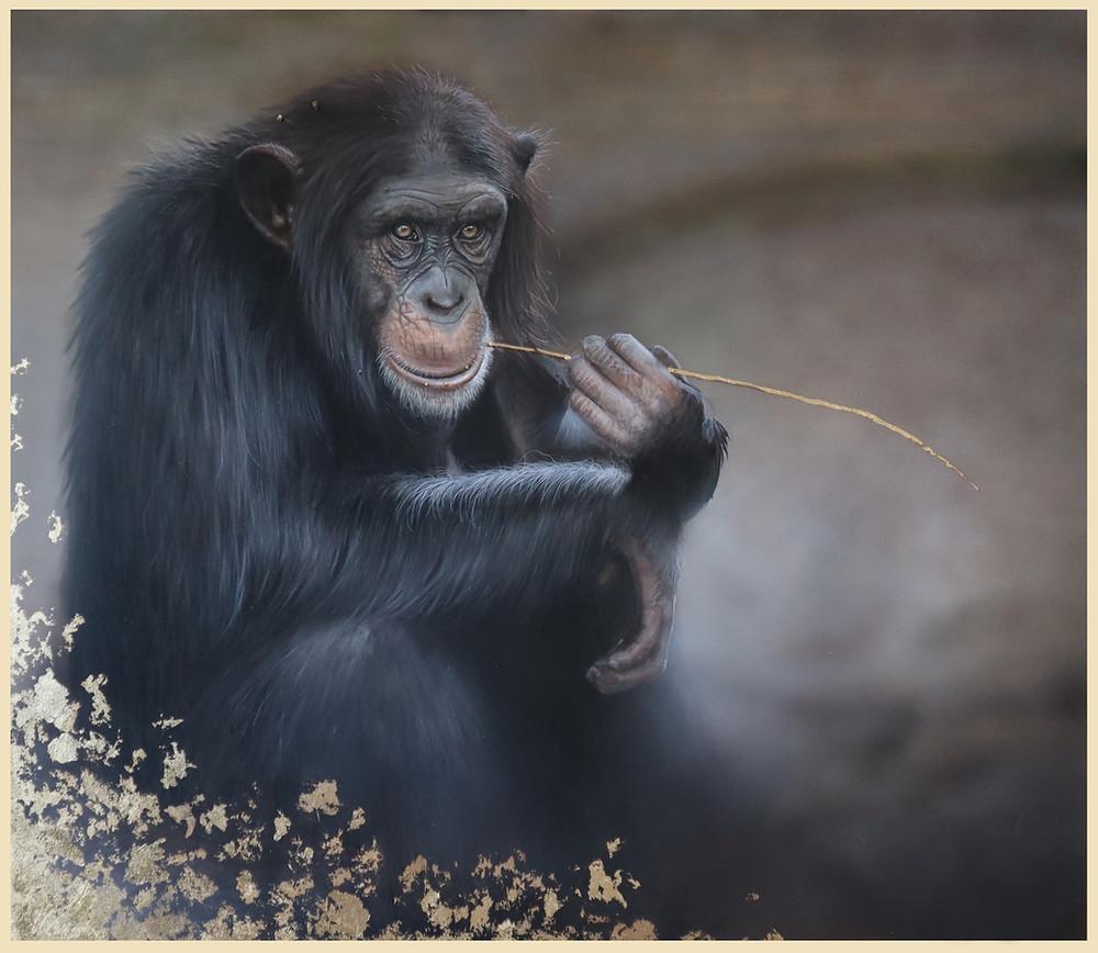 chimp chimpanzee painting print
