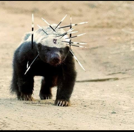 Why honey badgers don't care!