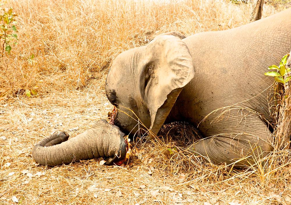 dead poaching elephant