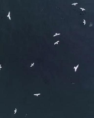 Humpbacks feeding on anchovies