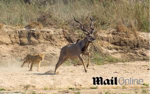 lion kill kudu hunting daily mail online the sun gary hill