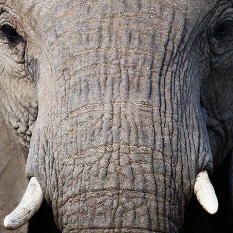 14 Elephant facts... 8 of which you didn't know!