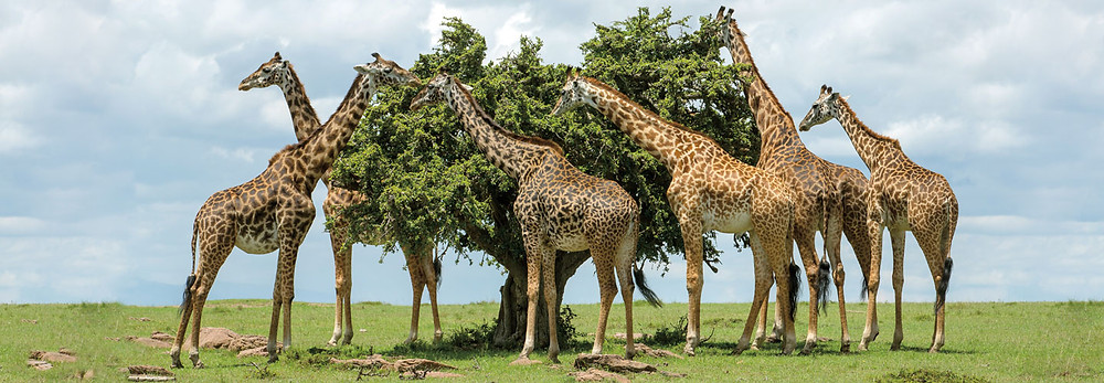 giraffes eating from treetops