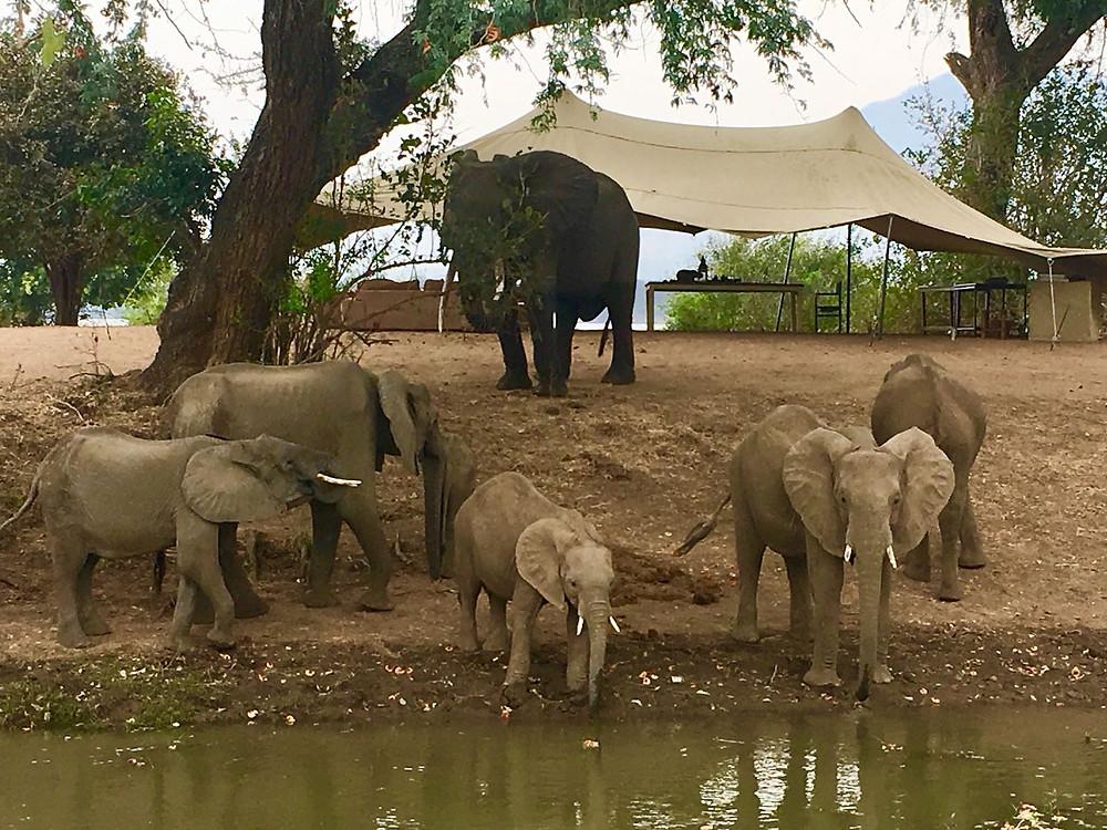 elephant herd camp larry norton
