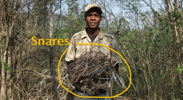 Uncovered poaching snares
