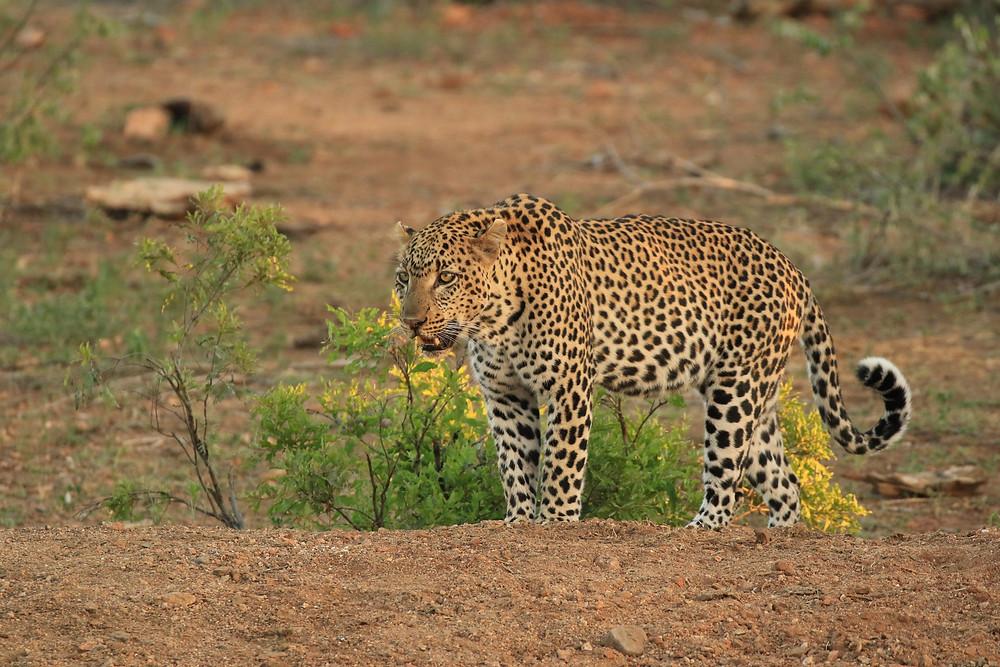 Leopard in mushi