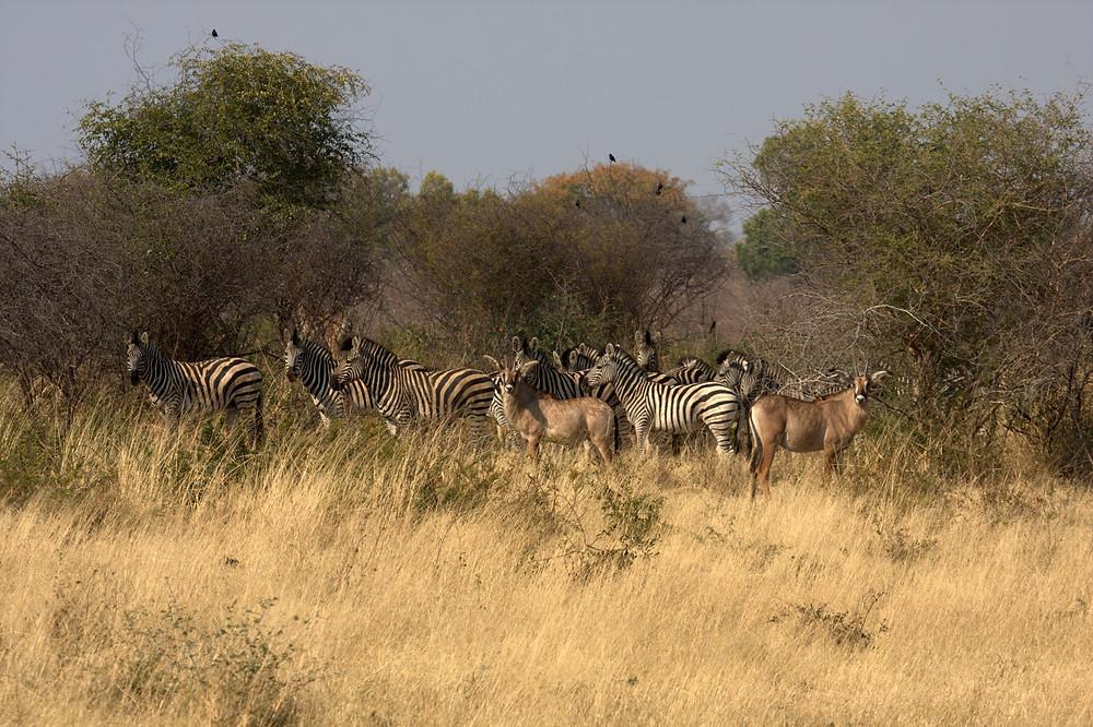 Mushi - Zebra and kudu