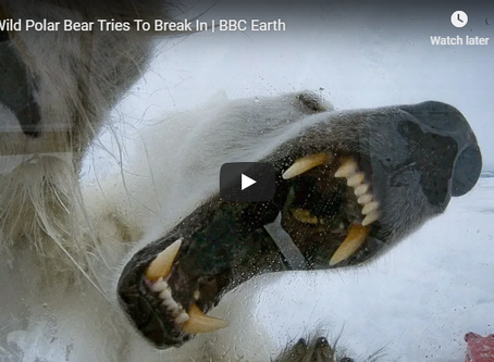 Wild polar bear tries to break in - BBC Earth