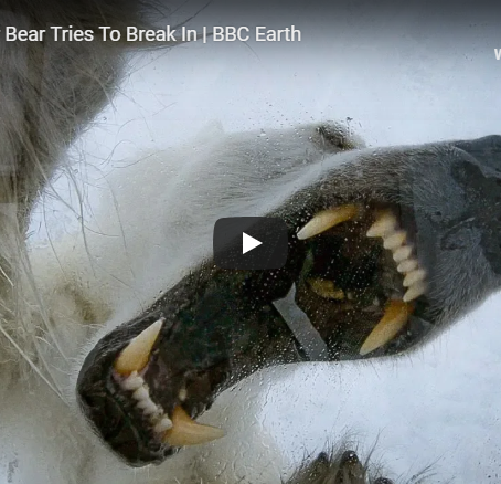 Wild polar bear tries to break in - BBC Earth
