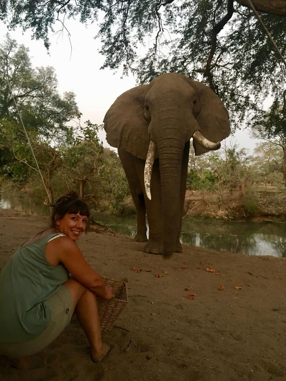 wild bull elephant close up