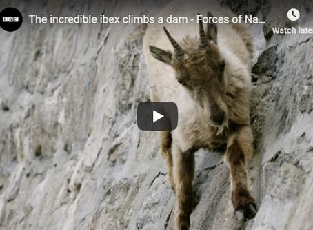 The incredible ibex climbs a dam