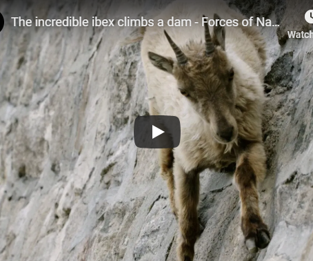 The incredible ibex climbs a dam