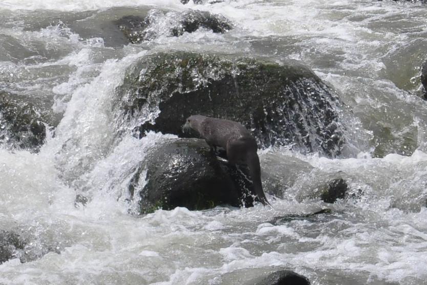 Aparece nutria vivita y coleando en el río Pescados