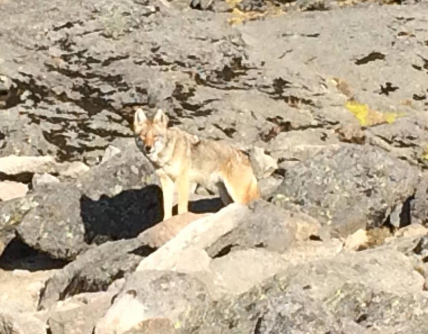 Coyote a la vista en el Parque Nacional Izta-Popo