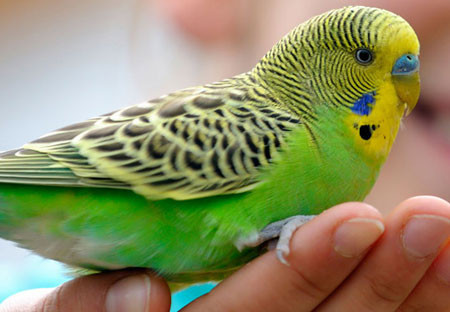 pet-selection-budgie-with-girl-sm.jpg