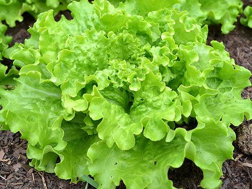 Salade - batavia verte - pièce