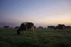 extra-Cows-on-pasture-early-in-the-morning-9177