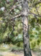Pine Tree sm.png