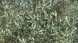 oliviers feuilles.jpg