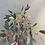 Thumbnail: Eucalypthus Promi