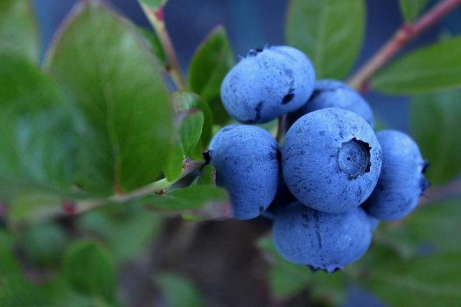 blueberry-pic 5.jpg
