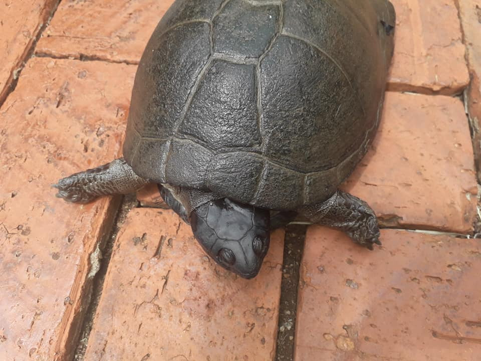 rescued terrapin