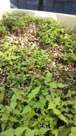 Acer saccharum seedlings