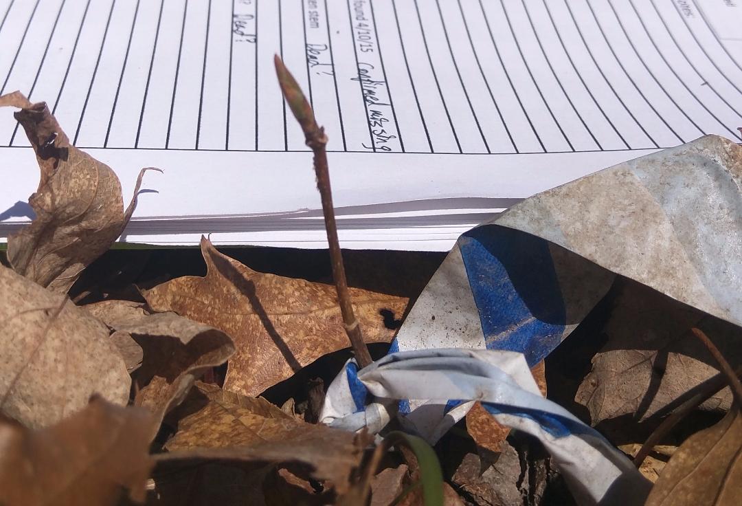 Acer saccharum bud swelling
