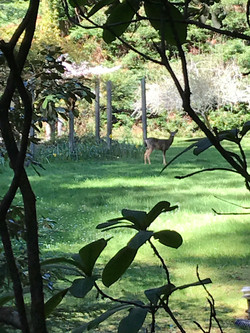Deer in the meadow.