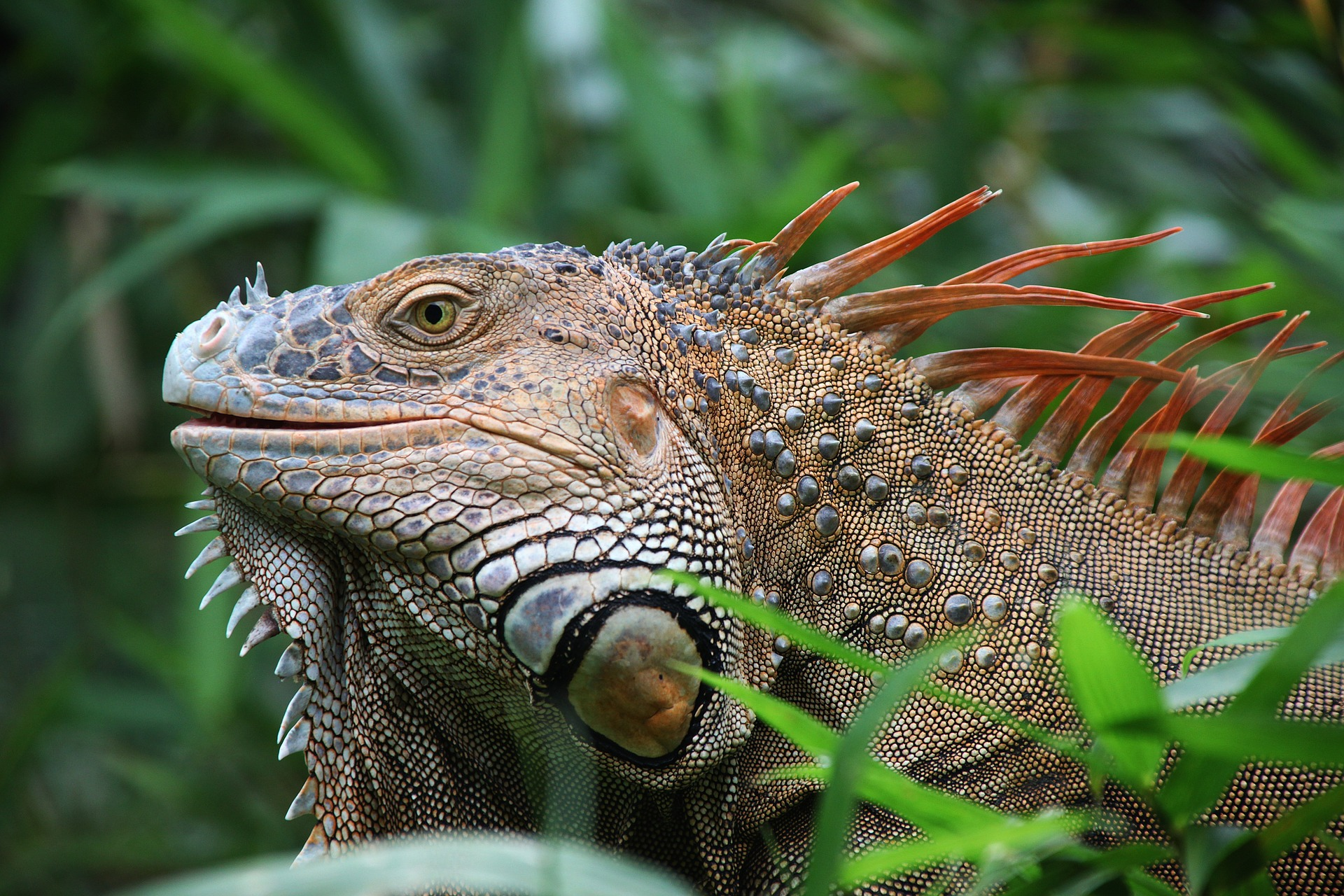 "Iguana, commonly called ""gallina de palo"""