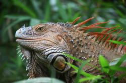 """Iguana, commonly called """"gallina de palo"""""""