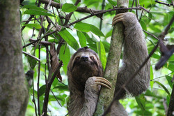 We have two species of sloths in Costa Rica