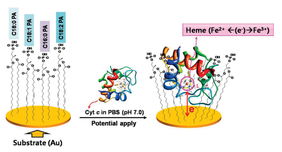Insertion of a Cytochrome c Protein into